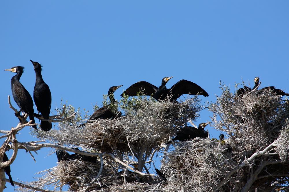 Bafa gölü'ndeki adada yuva yapmış göçmen kuşları gözlüyoruz