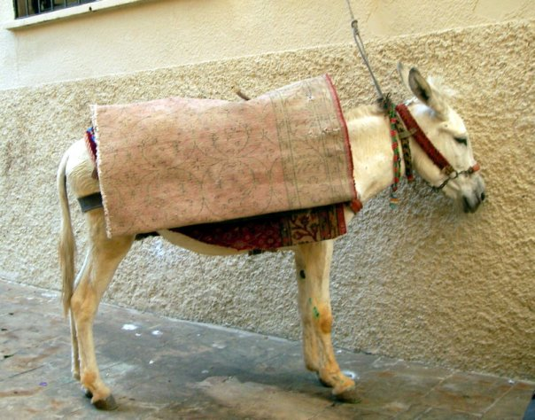 Mardin belediyesinin kadrolu Şami eşekleri