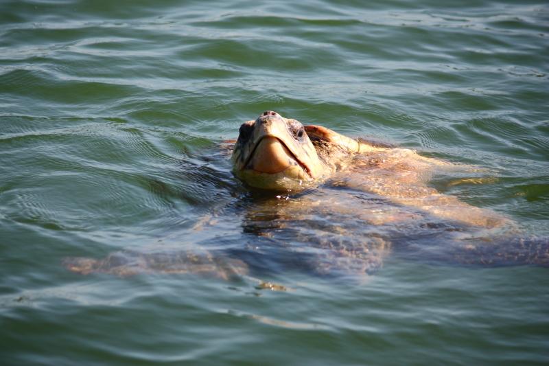 nesli tükenme tehlikesi ile karşı karşıya olan ve üremek için Dalyan'a gelen Caretta Caretta kaplumbağalarını gözlüyoruz