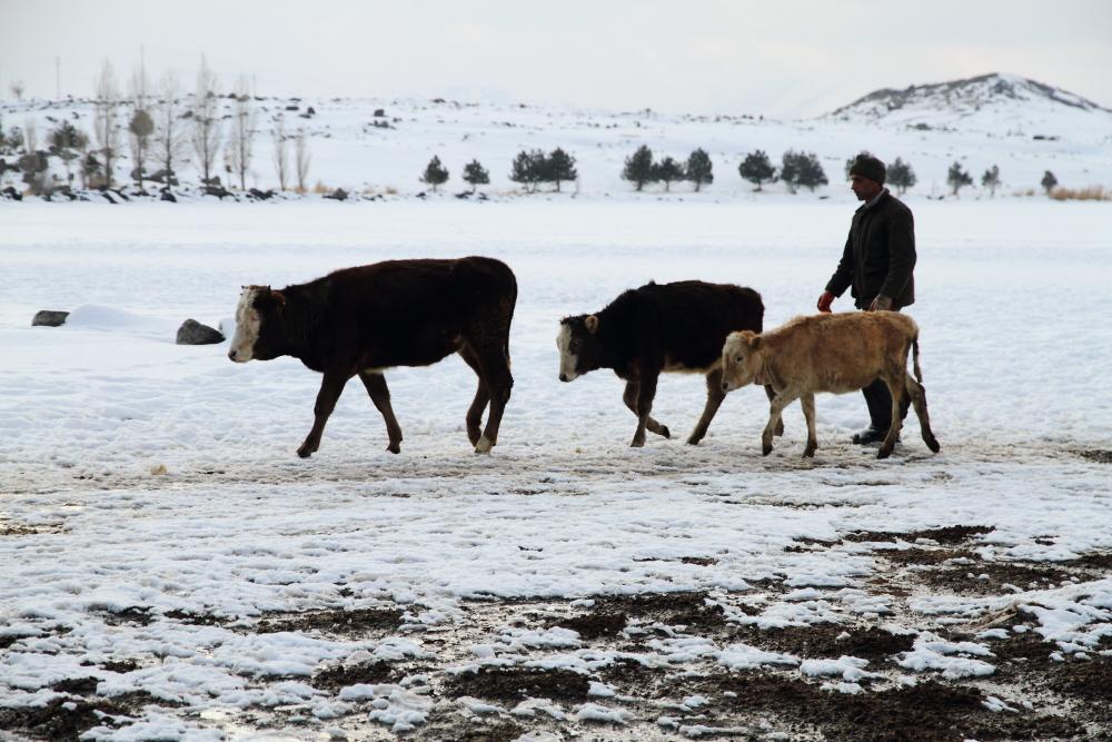 Akçakale köyünün inekleri donmuş Çıldır Gölü üzerinden geçerek köye dönüyor