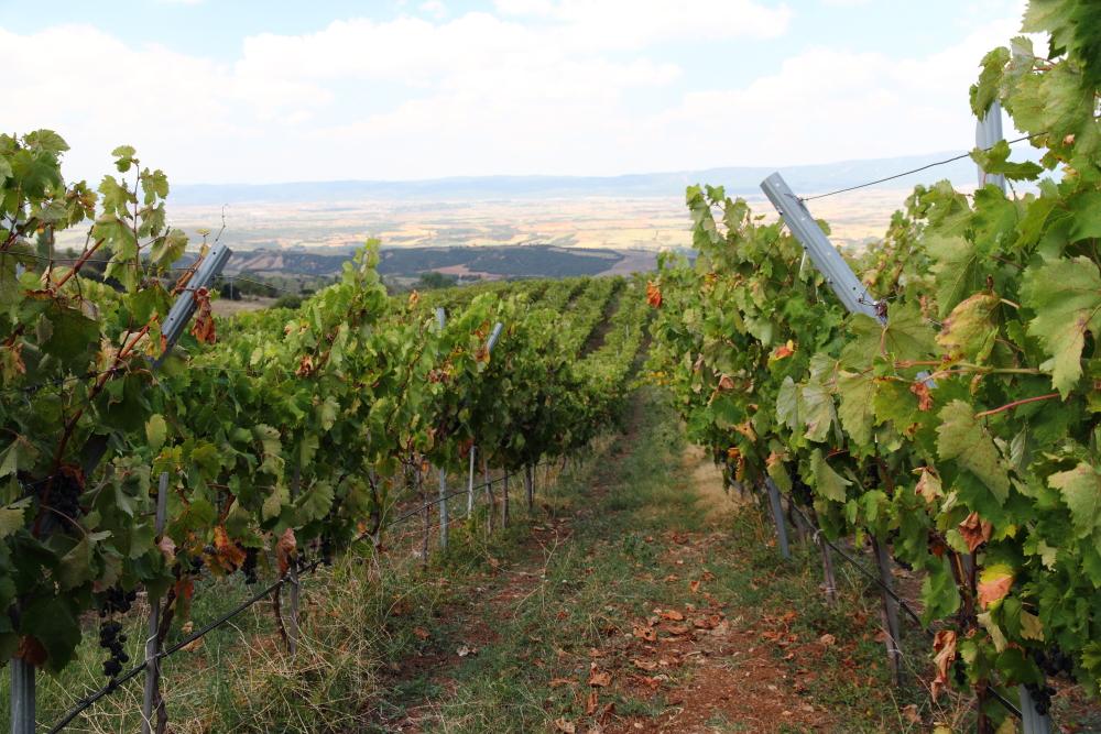 Cansın Bağcılık (Cansin's Wineyard)'ın asma bahçeleri