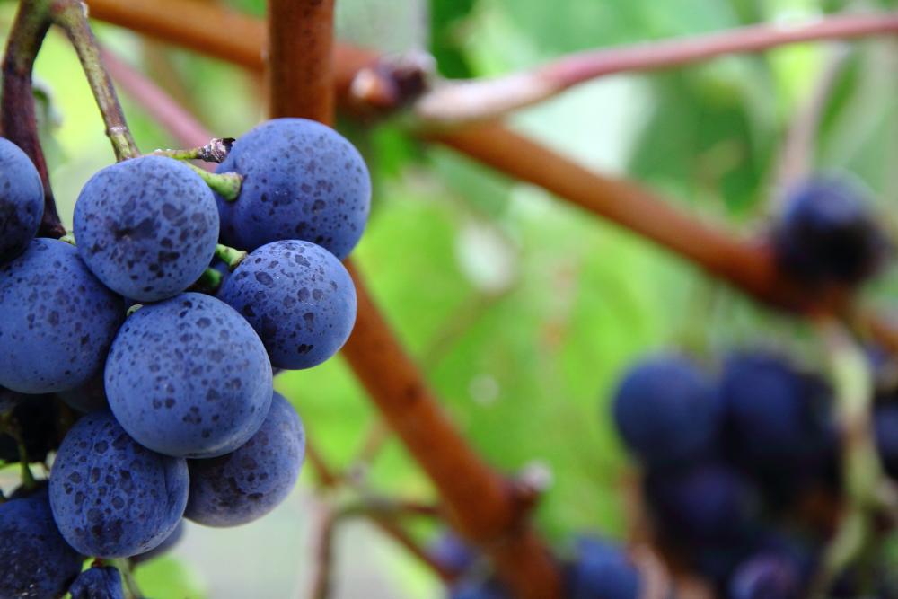 Alponse Lavallee türü kara üzüm