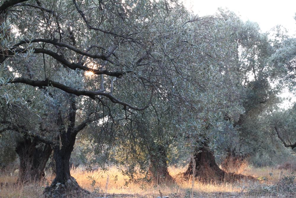 Urla Hasat Çiftliği'nde güneş kızararak batıyor, belli ki yarın da hava güzel olacak!