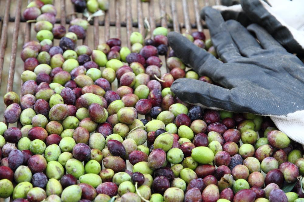 dalından toplanan zeytinler bir kez de elekten geçiriliyor ki araya karışan dal parçaları zeytinyağının aromasına karışmasın!
