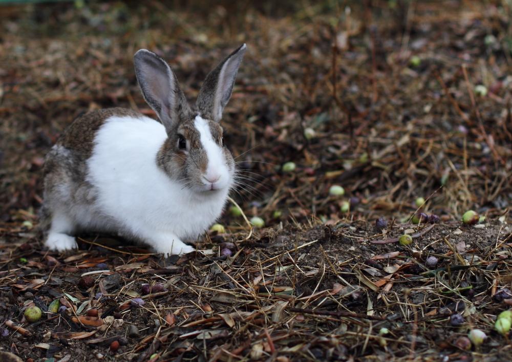 tavşan, tavşan iki kulaklı!