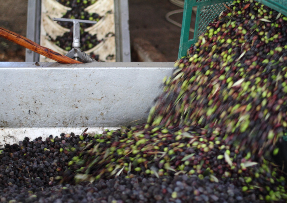 yağhanede sıkıma alınan zeytinler makinaya sevkedilmek üzere kuyuya dökülüyor