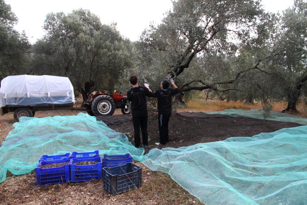 ikizler alçak dallardaki zeytinleri tarıyor