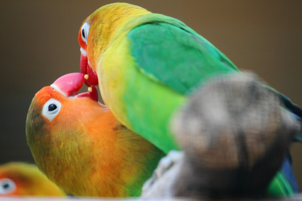 cennet papağanları