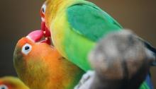 Cennet papağanlarının ve yıllardır evlerimizin sevimli misafiri muhabbet kuşlarının ana vatanı Avusturalya imiş; ta neresi!