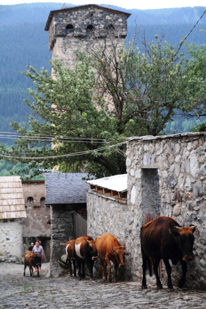 Mestialı çobanlar sabah gün doğarken inekleri otlamaya çıkarıyor